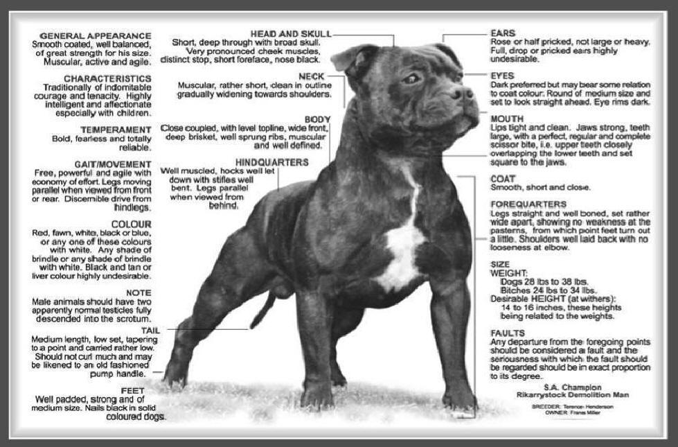 Breed Pictures The Staffordshire Bull Terrier Heritage